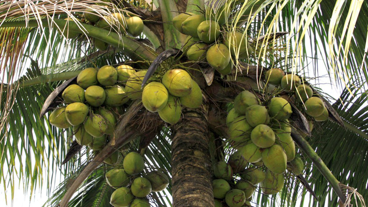 Image result for coconut festival ghana""