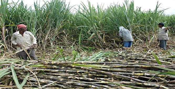 Image result for sugar cane farming in kenya